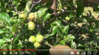 thinning fruitlets on apple trees