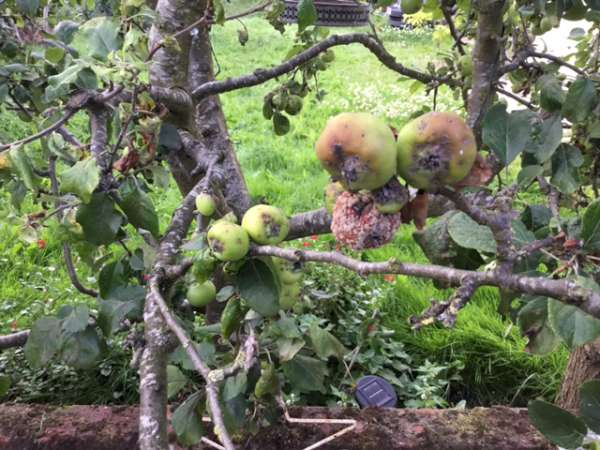 Apples rotting on tree