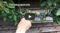 Thinning apricots video