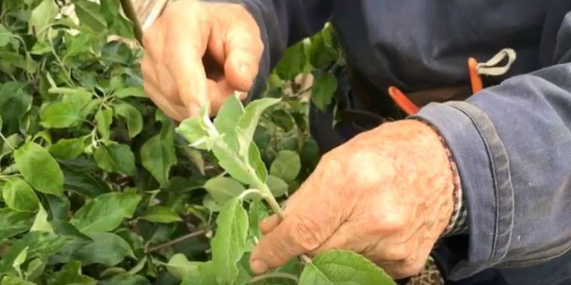 how to control aphids on apple trees video