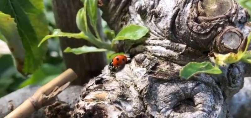 ladybirds great helpers for fruit growers