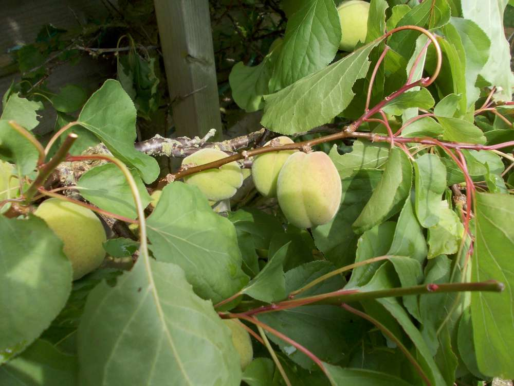 espalier apricot tree