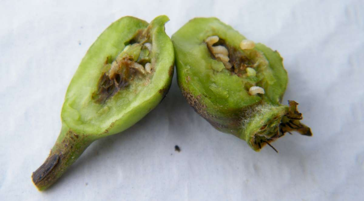 pear midge