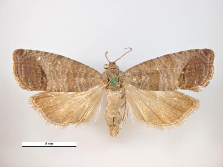 Cydia pomonella codling moth