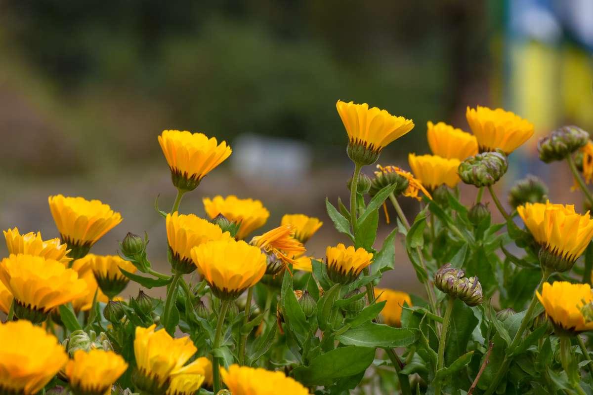 Marigold Calendula photo by Chandan Chaurasia on Unsplash