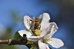 bee pollinating apple blossom
