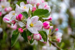 apple blossom and pollination