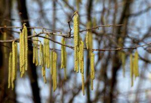hazel nut tree catkins
