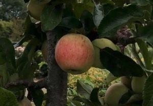 Suffolk Pink apple