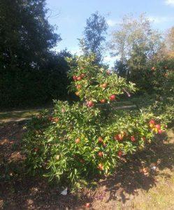 older fruit tree