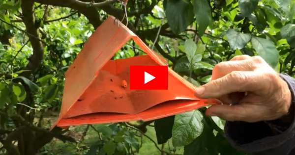 plum pheromone traps video