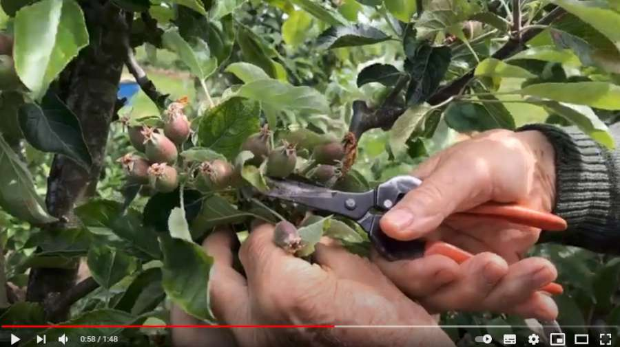 how to thin apples by hand