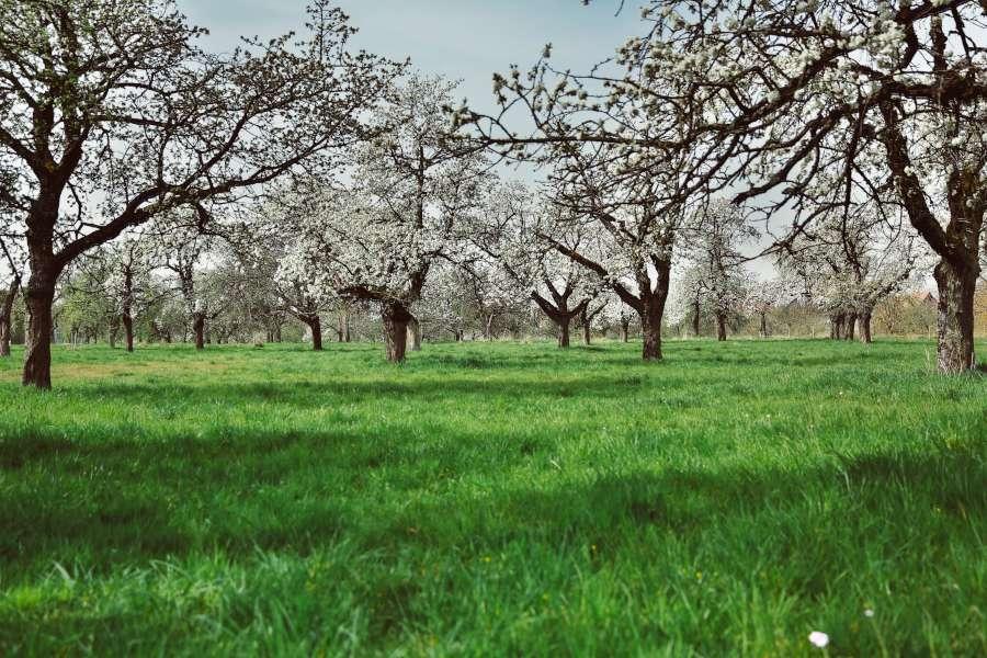 Mature fruit tree orchard