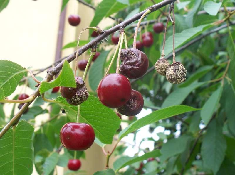 Monilinia laxa on cherry