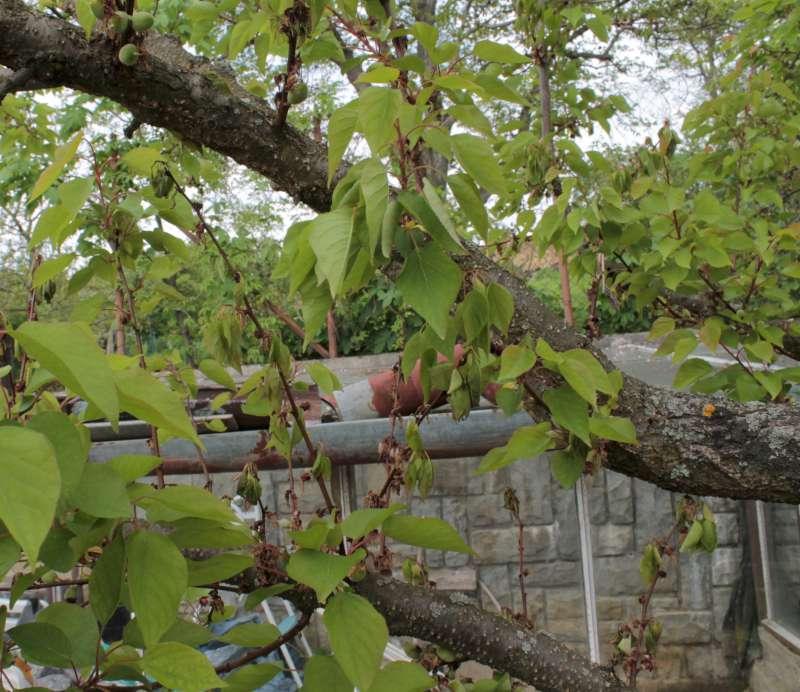 Monilinia laxa blossom wilt infection