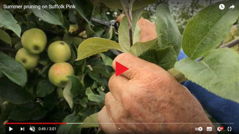how to summer prune apples