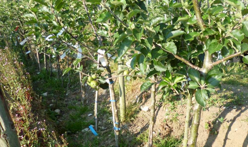 edible hedge
